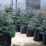 ВВаршаве просят сдавать праздничные елки, чтобы затем посадить ихвлесу